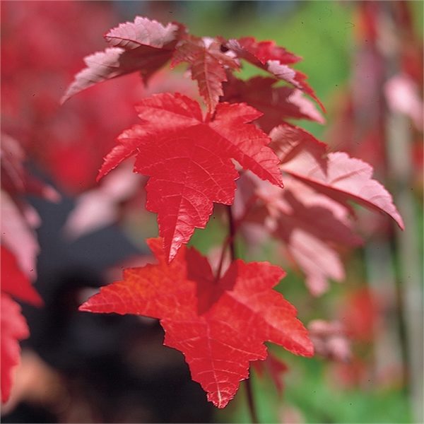 acer-rubrum-fairview-flame-leaf