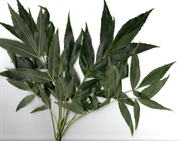 fraxinus-augustifolia-raywood-leaves