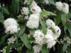 backhousia-citriodora-flowers