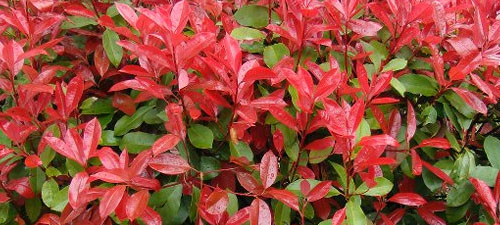 photinia-red-robin-flushing-new-growth
