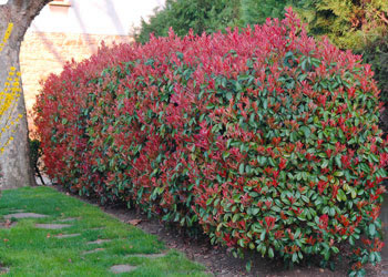 photinia-x-fraseri-red-robin-full
