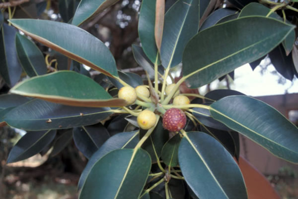 ficus-macrophylla-leaf-and-fruit