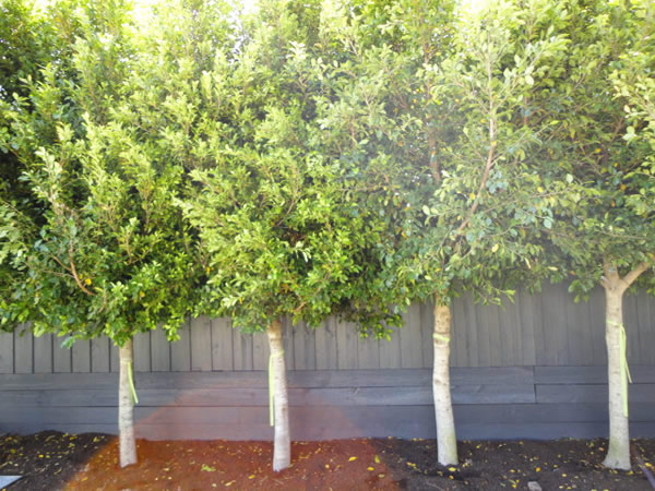 ficus-microcarpa-hilli-flash-full
