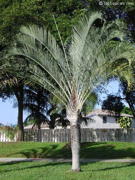 Dypsis decaryi