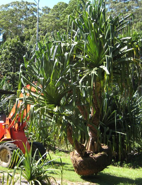 Carrying-Pandanus-on-Farm6