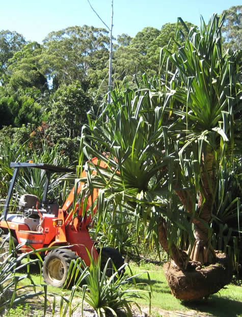 Carrying-Pandanus-on-Farm